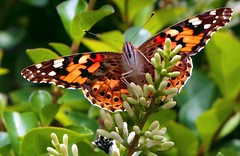 Distelfalter - to take off (FotoArtCircle) Tags: fauna cosmopolitan flora falter makro schmetterlinge panker distelfalter blinkagain richardvonlenzano distelfalteraufdistel rememberthatmomentlevel1
