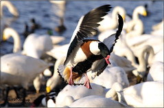 COMMON SHELDUCK (Shaun's Nature and Wildlife Images....) Tags: birdsducks shaund