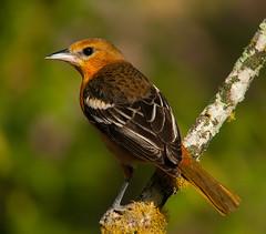 P1230852 2012-01-26 Baltimore Oriole (Tara Tanaka Digiscoped Photography) Tags: birding birdwatching baltimoreoriole digiscoped mirrorless birdperfect