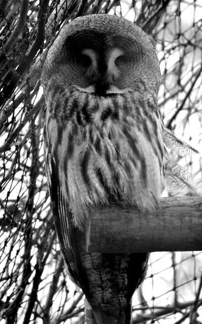 SNOWY OWL?