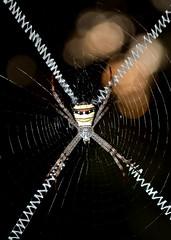 The Signature Spider (Nazmul Hossain [ON/OFF]) Tags: nature dhaka botanicalgarden bangladesh mirpur nazmul