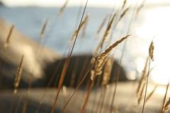 Finland (martinalinnea) Tags: sea sunlight finland straw fav20 fav30 2010 stersjn fav10 hanasaari hanaholmen ginordicjan12