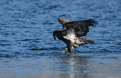 Juvenile Bald Eagle (Haliaeetus leucocephalus) (Photography Through Tania's Eyes) Tags: lake canada bird ice water animal reflections photography frozen photo bill pom wings nikon photographer bc image eagle britishcolumbia okanagan baldeagle feathers photograph penticton haliaeetusleucocephalus birdofprey birdwatcher okanaganlake okanaganvalley wildife juvenilebaldeagle copyrightimage nikond7000 taniasimpson