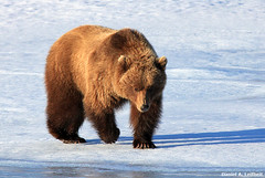 Grizzly Bear at Denali National Park (Critter Seeker) Tags: bear nature animal alaska canon mammal outdoors rebel wildlife canonrebel denali grizzlybear denalinationalpark specanimal t2i mygearandme canont2i