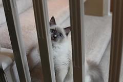 Nefertari (insomniac 2.0) Tags: cats kittens ragdoll