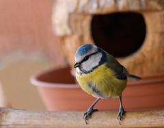 Cinciarella (fausto.deseri) Tags: birds natura uccelli paruscaeruleus cinciarella pentaxk20d pentaxfa30045