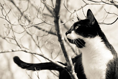 Snickers in tree b&w (loco's photos) Tags: blackandwhite bw tree male cat feline pentax tuxedo snickers kr dogwood domesticshorthair cc1000 pentaxkr friendsofzeusphoebe dal55300
