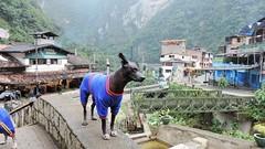 This was a special character (Gabriele B) Tags: dog peru animal machu picchu hair no hairless aguas less peruvian 2014 calientes