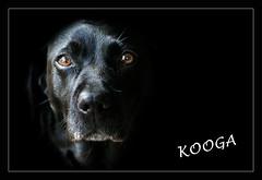 Kooga (Trudie S) Tags: portrait black eyes labrador