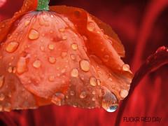 Flick de rojo ...... domingo 6 de abril (jacilluch) Tags: red flower macro fleur flor blossoms abril beta poppy april format rosella silvestre coquelicot roja papaver formato poppys cornpoppy papoula gineceo ababol sundayred mitxoleta papaverorosso papuela rossopapavero redamapola flickrredday antinpebetaprotestartgroup diarojoenflickr domingorojo