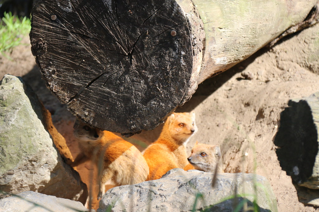 Yellow Mongoose - Diergaarde Amersfoort (Zoo)