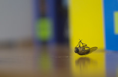 A Fallen Fly (EDhdphotography) Tags: insect dead fly fallen flies