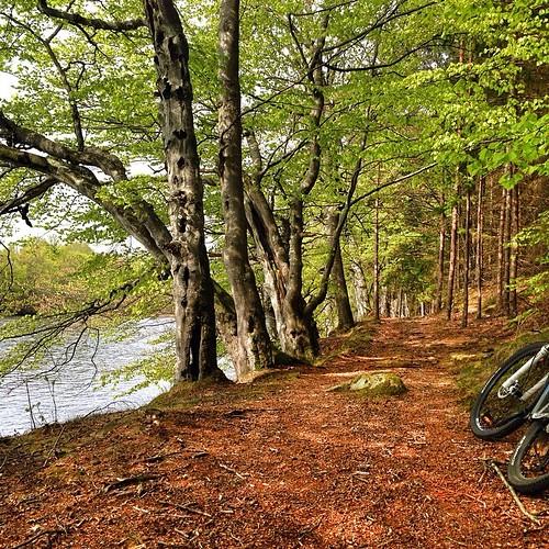 Det börjar bli gröna tunnlar #hemomkring #skogscykling #rössjön #mtb #hallandsåsen