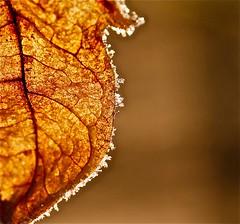 for Macro Mondays, just leaves (Dee Gee fifteen) Tags: winter leaf warmtones justleaves macromondays icyedge