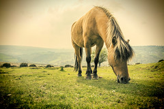 Grazy Dayz (rmrayner) Tags: horse grass landscape countryside lomo pony devon moor dartmoor mane moorland hss topazadjust dartmoorponygrazing