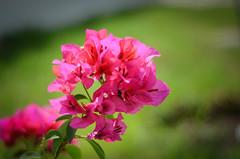 bugambilia color bugambilia (rosatifamadelrio) Tags: fave30