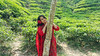 20160327_114740 (haider.bd) Tags: garden tea bangladesh teagardens srimongal aney