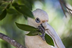 Nibbling away (vk2gwk - Henk T) Tags: bird animal australia nsw nelsonbay longbilled corella cacatuatenuirostris