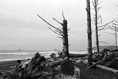 Dead trees (that analogue guy) Tags: ocean washington nikon olympics olympicnationalpark fm rialtobeach adox 11100 pyrocathd nikkorh28mmf35 minimalagitation chs100ii