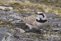 Horned Lark (c1_reader) Tags: bird horned lark hornedlark