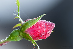 A Rose In The Rain (Back Road Photography (Kevin W. Jerrell)) Tags: flowers red roses macro nature beauty rain spring naturalbeauty waterdrops closeups nikond60 macrolife backroadphotography