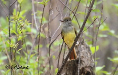 Tyran Hupp / Great Crested Flycatcher / Myiarchus crinitus (ricketdi) Tags: bird ngc npc greatcrestedflycatcher myiarchuscrinitus cantley nakkertok tyranhupp coth5 explore22052016no5
