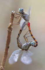 Dragonflies Mating (Inge Vautrin Photography) Tags: red macro oklahoma nature beautiful closeup insect outdoors wings eyes heart dragonflies dragonfly insects mating stick animalplanet macrophotography bluefacedmeadowhawk