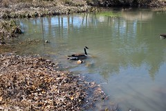 Goose Beginning to Swim in Pond (rleahey14) Tags: swim pond goose beginning