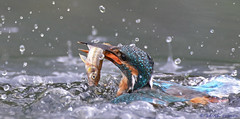 Kingfisher (KHR Images) Tags: droplets fishing diving kingfisher handheld alcedoatthis withfish 70300vr nikond7100