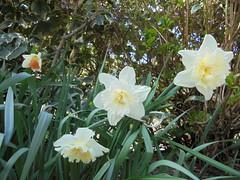 736 (en-ri) Tags: grass sony erba narcissus narcisi sonysti