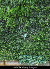 Uploaded to Stockimo (mlovette) Tags: fern green wall garden indoor hanging walls eco stockimo