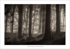 . (shaun.argent) Tags: morning trees mist tree nature woodland spring woods shaunargent