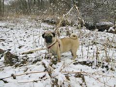 The Snow Pug (Deep-Fried Goodness) Tags: dog cute pug dexter