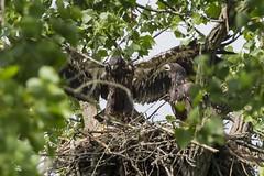 BALD EAGLES NESTING ON LEVEE RD., BROOKVILLE IN. (nsxbirder) Tags: indiana juvenile haliaeetusleucocephalus brookville whitewaterriver leveeroad