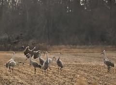 JP 14 (Jan Crites) Tags: park november field birds rural cornfield nikon zoom wildlife indiana cranes sandhillcranes 70300 migratingbirds d90 harvestedfield migraton jasperpulaski jasperpulaskifishandwildlifearea