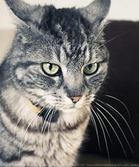 Angry cat (Pablo  Ronald) Tags: portrait face animal cat eyes looking retrato cara bigotes moustache ojos gato greens mirada macho rostro verdes canon5dmarkii pabloronald