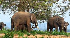 Wild Tuskers (Sara-D) Tags: nature animals fauna asia wildlife sl lanka elephants srilanka ceylon lk mammals deva wildanimals southasia endangeredspecies tusker sarad elephasmaximusmaximus saranga wildelephants sarangadevadealwis sarangadeva