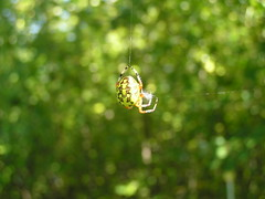 Marbled Orb Spider (eyriel) Tags: color detail nature spider bokeh web string photocontesttnc12 dailynaturetnc12