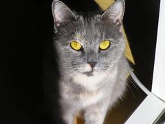 Charden (il_Madmax) Tags: cat eyes grigio gray occhi gatto charden