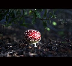 amanita muscaria (chiusa) (Lella Leone Photo) Tags: red nature forest mushrooms sardinia natura funghi rosso bosco carloforte puffi cespugli isoladisanpietro poisonousshrubs velenoso lellaleonephoto