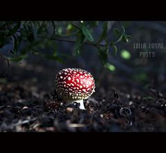 amanita muscaria (chiusa) (Lella Leone Photo) Tags: red nature forest mushrooms sardinia natura funghi rosso bosco carloforte puffi cespugli isoladisanpietro poisonousshrubs velenoso lellaleonephoto