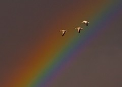All Colors (sunrisesoup) Tags: newmexico nm usa bosquedelapache november snowgeese explore sunrisesoup birds nature muse