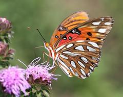 My Best Angle (DrPhotoMoto) Tags: red orange butterfly angle magenta northcarolina pointofview liatris myfavouritethings gulffritillary richmondcounty blinkagain bestofblinkwinners agrulisvanillae agraulisvanilla