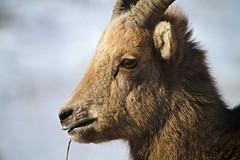 Wassuup? (SomewhereOutside) Tags: snow wyoming rams jacksonhole bighornsheep ewes nationalelkrefuge somewhereoutside douglasmccartney