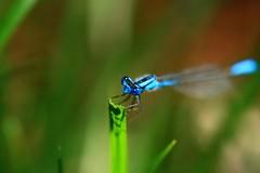IMG_3598.JPG (polishamericanphotographer) Tags: dragon flies