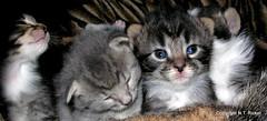 Gang of Four (NTFlicker) Tags: blueeyes fourkittens tabbycats nikoncoolpix8800 18daysold tabbykittens