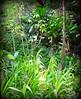 ~~WaimeaBotanicalGarden#5~~ (TravelsThruTheUniverse) Tags: tropicalplants zengardens oahuhawaii tropicalgardens tropicalfoliage waimeavalleybotanicalgarden tropicallandscapes waimeavalleyoahu waimeaparkhaleiwaoahu