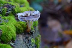 together (redglobe*) Tags: autumn green nature mushroom germany nikon dof münster