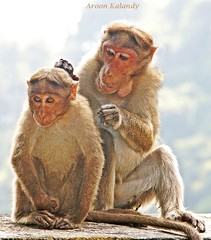 Monkey Buisness (aroon_kalandy) Tags: light india nature beautiful photography lights asia artistic sony kerala grooming greatshot teaching lovely majestic wayanad calicut kozhikode scimmie topshots anawesomeshot natureselegantshots spulciamento panoramafotogrfico aroonkalandy theoriginalgoldseal flickrsportal best4gpin closeupadmonish tnebestofmimamorsgroups