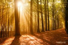 Riniti (♥ Damona-Art •.¸¸.•´¯`•.♥.•´¯`) Tags: wood morning autumn trees light sun sunlight nature colors souls playground forest photography nikon seasons belgium spirit secret magic dream natura paths sunrays forests mystic enchanted d300 bookofsecrets damona thesecretlifeoftrees zauberwelt